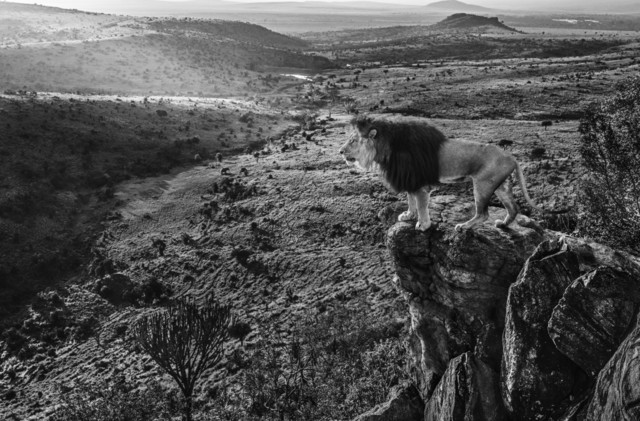 David Yarrow, 'King of Kings', ca. 2019, Samuel Lynne Galleries