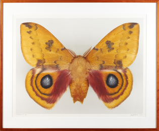 Dr. Joseph Scheer Moth Photograph, Automeris Io (Male)