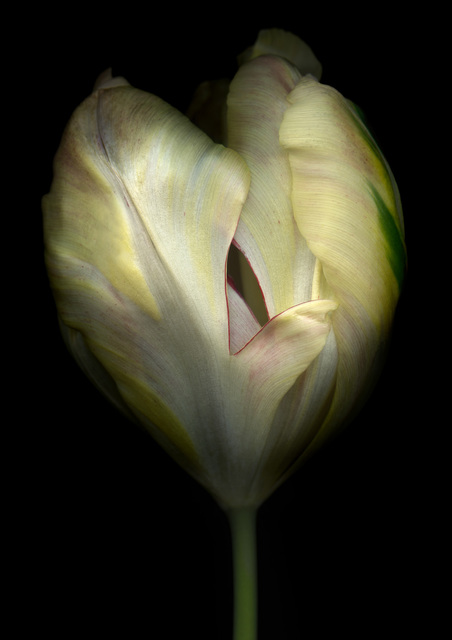 , 'Tulip,' , Fabrik Projects Gallery