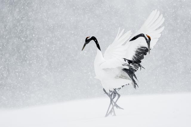 , 'Grues du Japon (Red-Crowned Cranes),' , Paul Nicklen Gallery