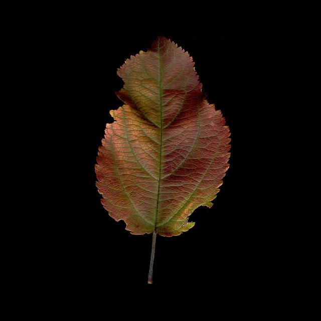 Meridel Rubenstein, 'Crabapple Iridescent Leaf', 2010, Brian Gross Fine Art