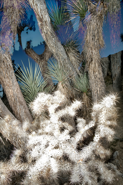 , 'Joshua Tree Series ,' , 555 Gallery