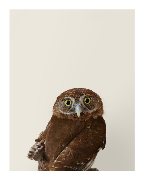 , ''Pixie' Northern Pygmy Owl ,' 2015, Purdy Hicks Gallery