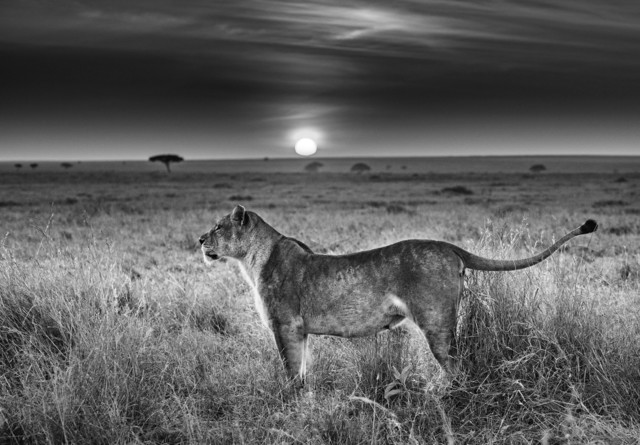 David Yarrow, 'Serengeti', 2016, Isabella Garrucho Fine Art