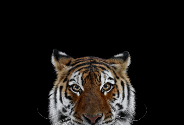 Brad Wilson, 'Tiger #6, Los Angeles, CA', 2010, photo-eye Gallery