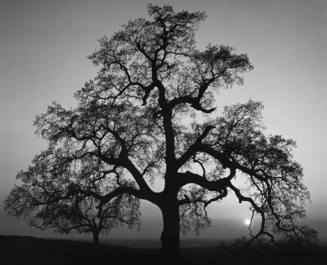 , 'Oak Tree, Sunset City, Sierra Foothills, California,' 1962, The Ansel Adams Gallery