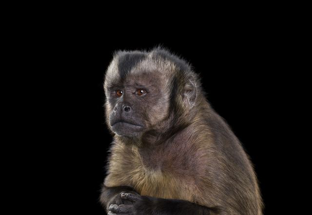 , 'Capuchin Monkey #5, Monterey, CA, ,' 2014, photo-eye Gallery
