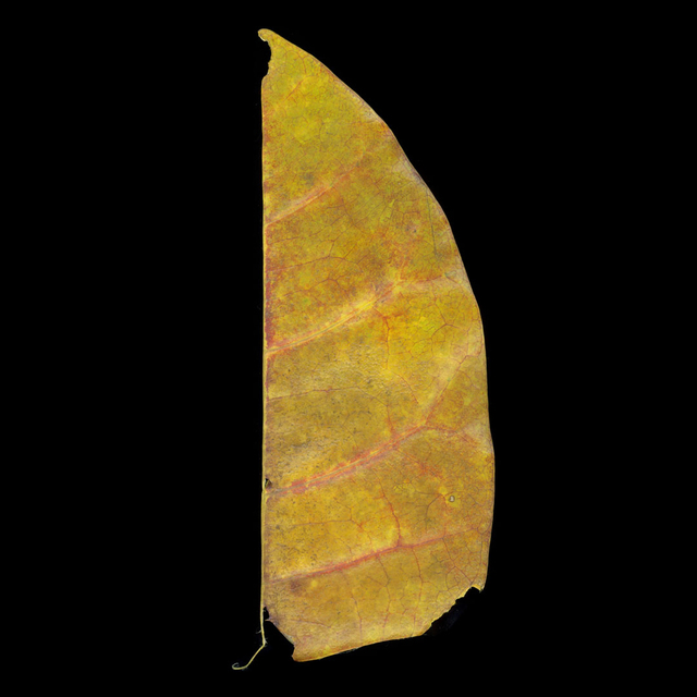 , 'Pulau Ubin Half Leaf,' 2010, David Richard Gallery