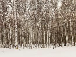 Josef Hoflehner, 'Birch Fores, tJapan', 2012, Jackson Fine Art