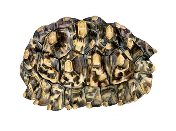 , 'African Leopard Tortoise,' 2010, Andra Norris Gallery