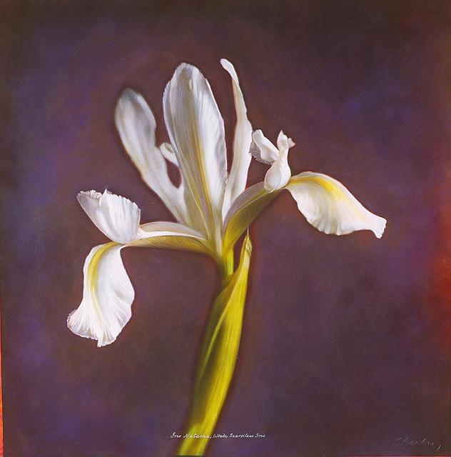 Kate Breakey, 'Iris 'Natascha' , White Beardless Iris', 2000, Etherton Gallery