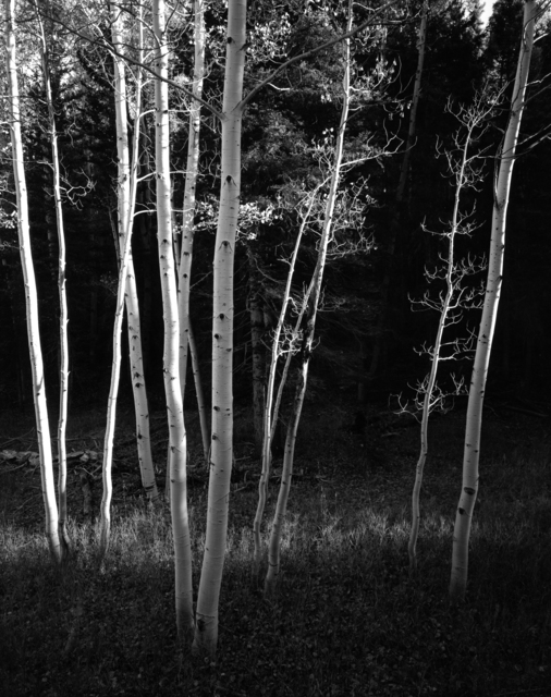 , 'Aspens, Study II,' 2014, Photography West Gallery