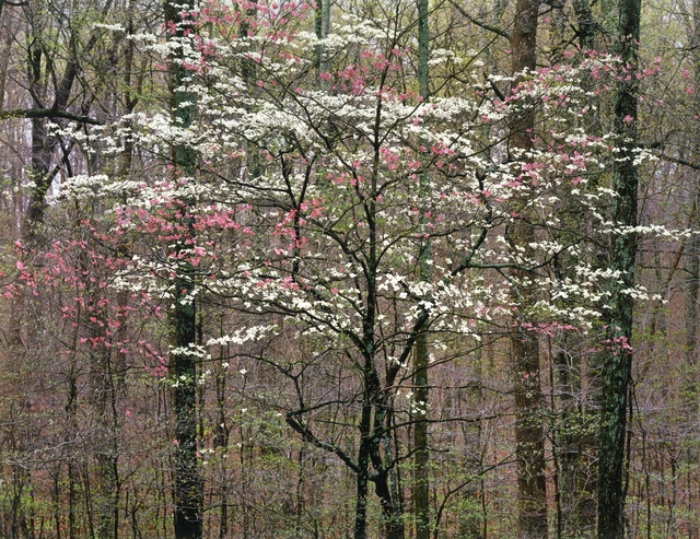 , 'Pink and White Dogwoods, Kentucky,' 1991, Photography West Gallery