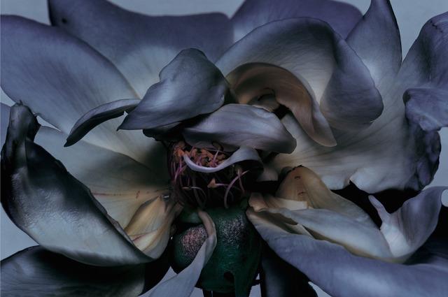 , 'Rose,' 2000, CHRISTOPHE GUYE GALERIE