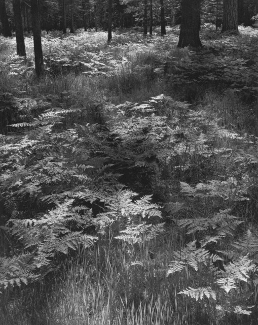 , 'Ferns, Valley Floor, Yosemite National Park, California,' 1948-printed later, Scott Nichols Gallery