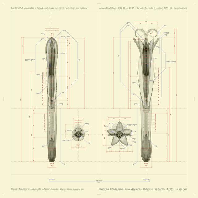 , 'Cosmos sulphureus Cav. - tubular flower - top,front view - ow,' 2010, Frantic Gallery