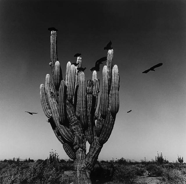 , 'Sahuaro, Desierto de Sonora, Mexico,' 1979, ROSEGALLERY