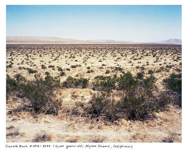 , 'Creosote Bush # 0906-3632 (12,000 years old, Mojave Desert, California),' 2006, Sapar Contemporary