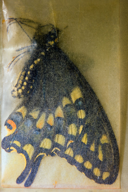 , 'Papilio zelicaon (Anise Swallowtail) ♂, Oak Creek Canyon, Arizona, July 12 1959, 1, 2016. With thanks Cornell University Insect Collection, Department of Entomology, Cornell University, Ithaca, NY,' 2017, Starkwhite