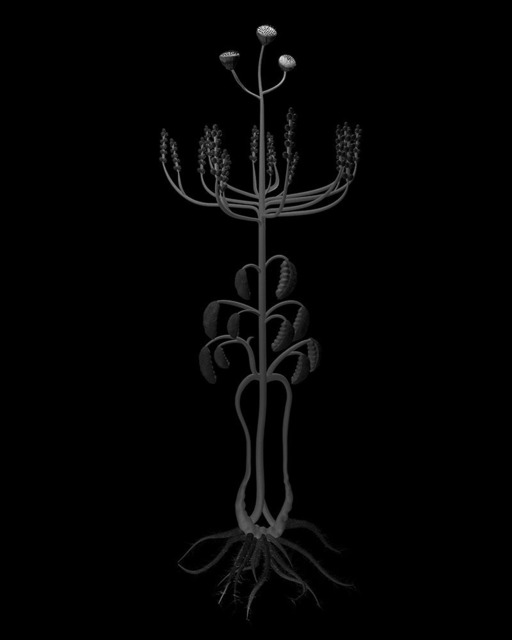 , 'Volynich Botanical Studies, Specimen 22r JARO,' 2013, Thomas Solomon Gallery