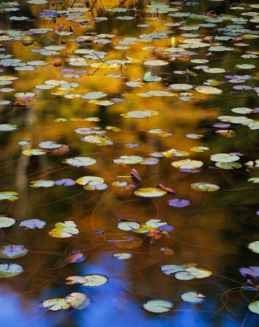 , 'Acadia Lily Pads,' 2009, The Art of Wild Gallery