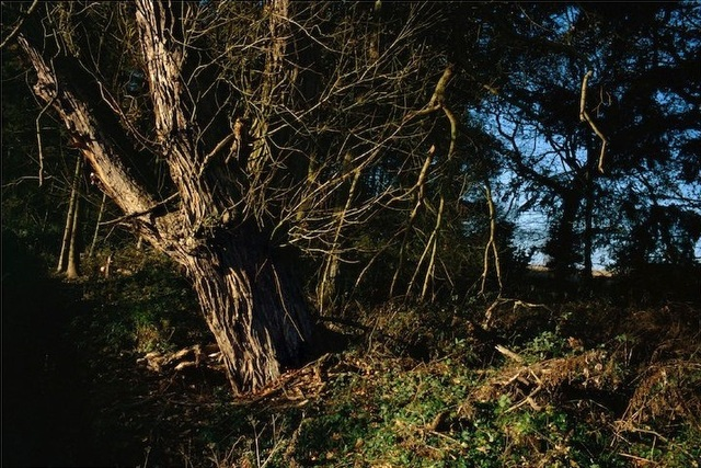 , 'Crack Willow, Suffolk,' 2011, Osborne Samuel