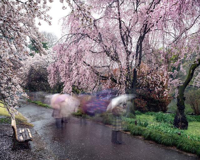 , 'Hanami #18, Shinjuku Gyoen, Thursday, April 3rd,' 2014, Jackson Fine Art