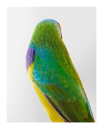 , ''Christo' Orange-headed Gouldian Finch,' 2015, Purdy Hicks Gallery