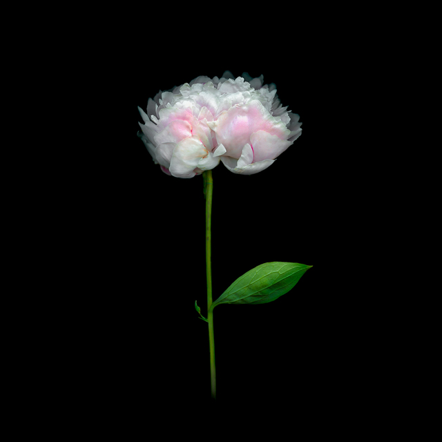 , 'Peony,' 2018, Carrie Haddad Gallery