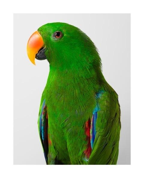 , ''Oscar' Eclectus Parrot,' 2015, Olsen Irwin