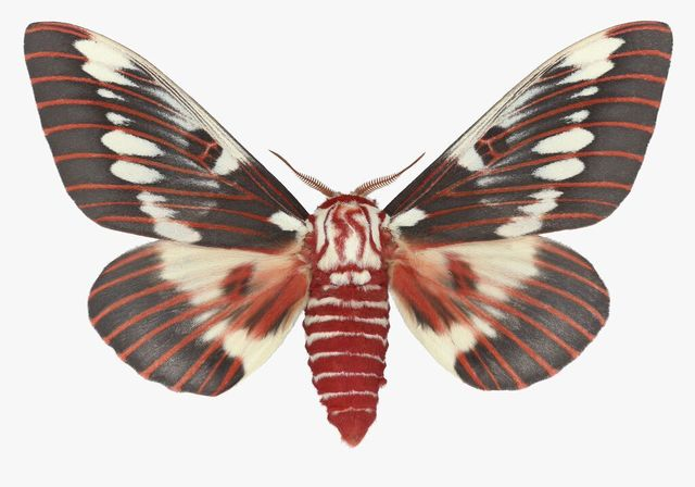 , 'Citheronia Splendens Male,' , ArtStar