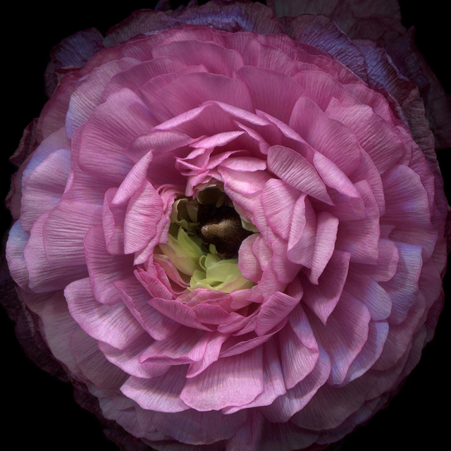 , 'Pink Ranunculus  Ed 1,' , J. Petter Galleries