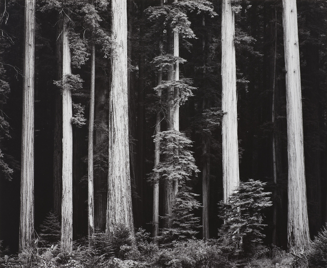 , 'Northern California Coast Redwoods,' 1960, The Ansel Adams Gallery