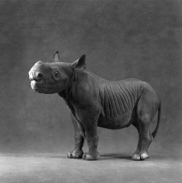 "Michael O'Neill, 'Black Rhinoceros, ""Kwanza""', 1991, Etherton Gallery"