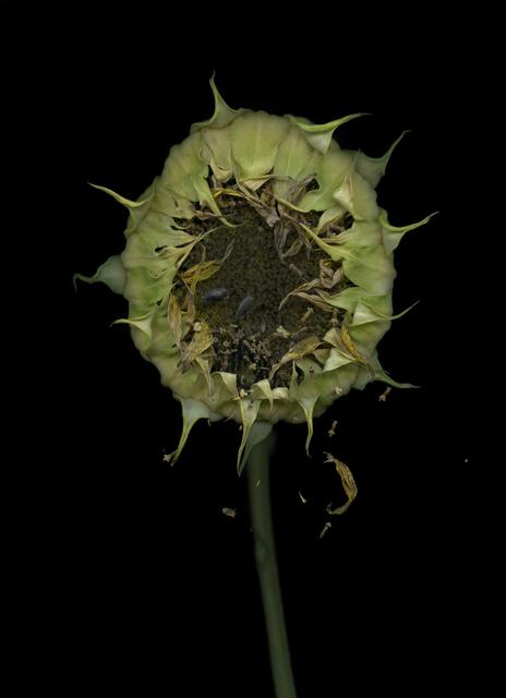 , 'Sonnenblume (Helianthus annuus),' 2018, Galerie Judith Andreae