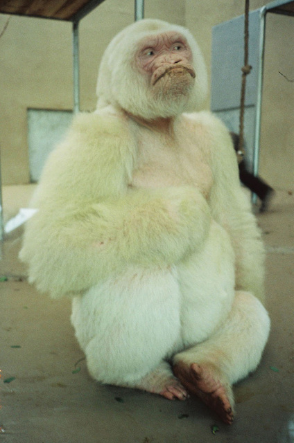, 'Southern Hemisphere (White Gorilla Photo),' 1991, Wilkinson