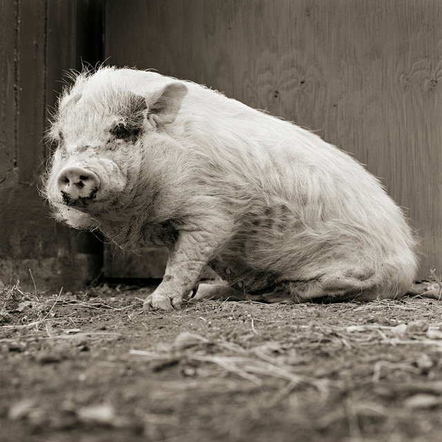 , 'Violet, Potbellied Pig, Age 12, II,' 2011, ClampArt