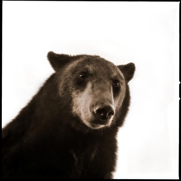 , 'Black Bear II,' 2017, Julie Nester Gallery