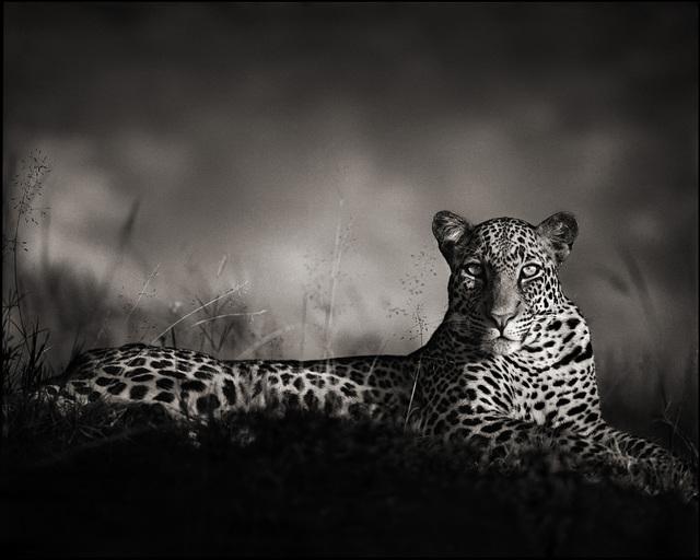 , 'Leopard Staring, Maasai Mara,' 2010, Custot Gallery Dubai