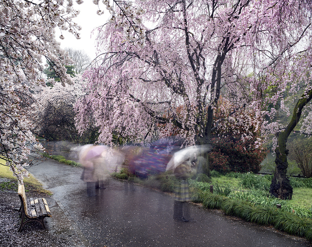 , 'Hanami #18, Shinjuku Gyoen, Thursday April 3rd,' 2014, Benrubi Gallery