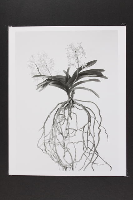 , 'Orchid,' 2013, Gallery LVS