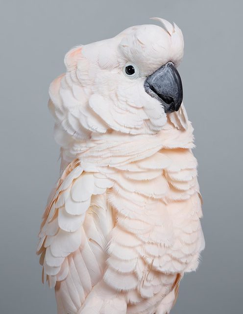 , ' Cyril Moluccan Cockatoo  ,' 2017, Purdy Hicks Gallery