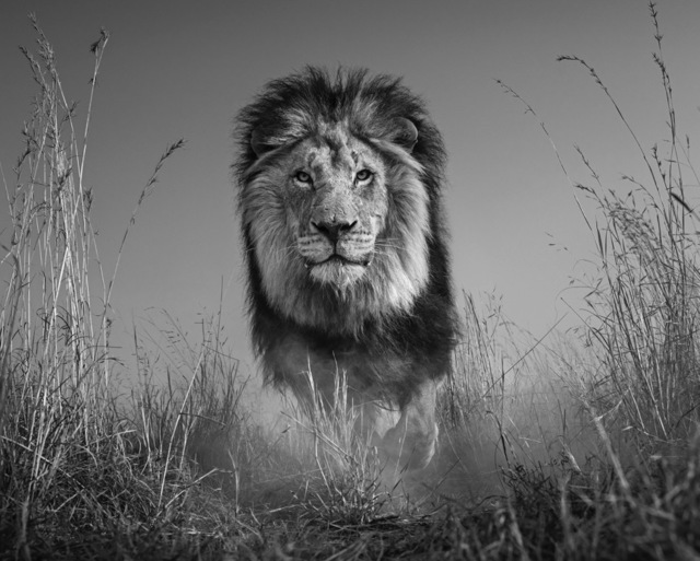 David Yarrow, 'The King And I ', 2016, Maddox Gallery