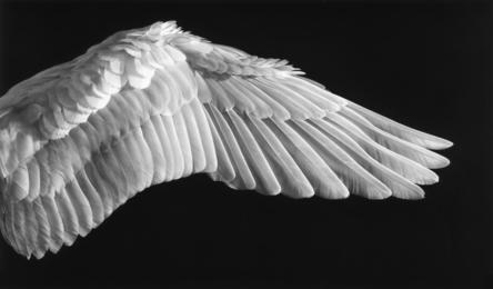 Untitled (Gabriel's Wing)