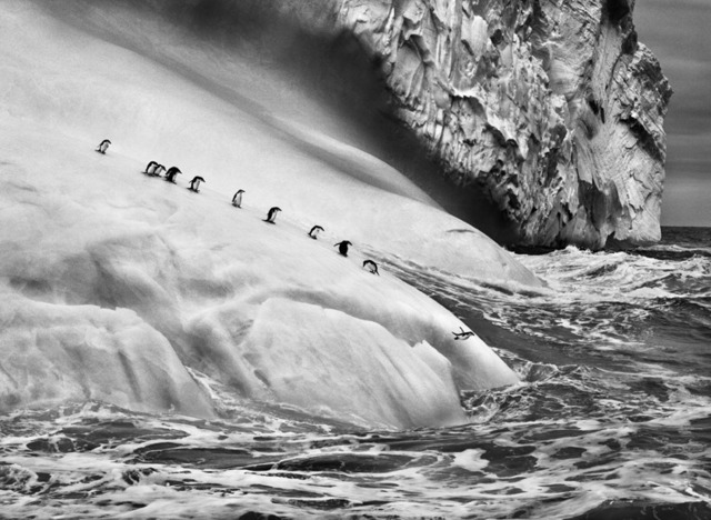 , 'Chinstrap penguins on an iceberg, between Zavodovski and Visokoi island. South Sandwich Islands.,' 2009, Sundaram Tagore Gallery