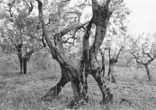 , 'Tuscan Trees #19,' 1996, Wirtz Art