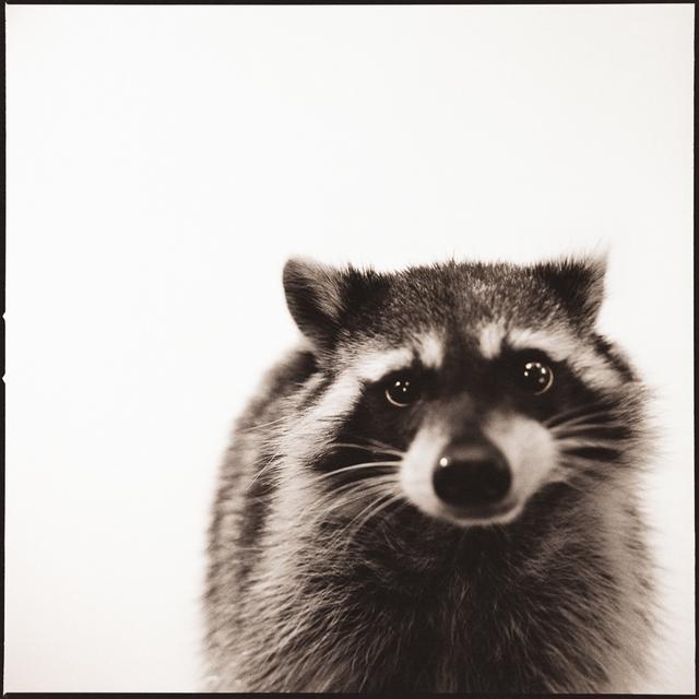 Nine Francois, 'Raccoon I', Weston Gallery