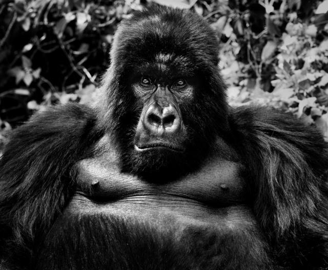 David Yarrow, 'King Kong', 2011, Isabella Garrucho Fine Art