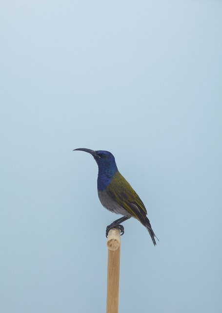 , 'Blue-headed Sunbird #1,' ca. 2016, The Photographers' Gallery