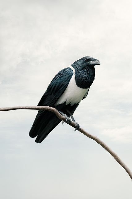 Alice Zilberberg, 'Present Pied Crow', 2020, Photography, Photo-based digital painting (Paper - Canson Infinity Rag Photographique), Isabella Garrucho Fine Art